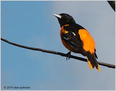 Baltimore Oriole, Birds of John Heinz Wildlife Refuge (alan jackman) Tags: orange bird john nikon song wildlife baltimore nikkor heinz refuge oriole 55300mm d7000 jackmanonjazz alanjackman