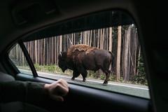 Too Close (Alexander Tran | atranphoto.com) Tags: park window nature car yellow stone buffalo close wildlife national yellowstonenationalpark yellowstone bison ynp nps100 atran atranphoto goparks