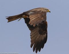 2-Muestrame el botn que llevas en tus garras Milanito!!Que es un milano?? Es un ave grande, pero no muy grande, que no es un buteo, ni un guila, ni un buitre ni un ratonero!! Realmente son cometas del cielo !!! (Cimarrn Mayor !!!7,000.000 DE VISITAS, GRACIAS!!) Tags: ordenfalconiformes familiaaccipitridae generomilvus milanonegro nombrecientficomilvusmigrans nombreeninglesblackkite lugardecapturasevilla sevilla espaa spain espagne europa europe ave bird oiseau vogel uccello pssaro  ptak  fgel lintu ptek ptica  cimarrnmayor panta josmiguelpantalen 7dmarkii canoneos7dmarkii canon7dmarkii naturaleza libertee telefoto700mm dominicano fauna libre libertad montaas 460 explore explore460 explore46009062016