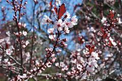 NYBG_949 (chiang_benjamin) Tags: nyc flowers plants ny newyork tree garden bronx plumblossom newyorkbotanicalgarden