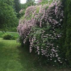 Naboens hekk (fotomormor) Tags: rosa grnt hekk fagerbusk