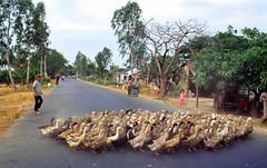 viet_centre_1993_176 (pascalvu1) Tags: animal vietnam
