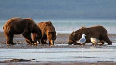 ok boys gather round... (820-Photography by James Anderson) Tags: alaska grizzlybear alaskanbrownbear katmainationalpark grizzlybearofalaska