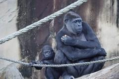Taronga's Gorillas 19 (trisharooni) Tags: gorilla tarongazoo primates