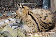 Leptailurus serval DT [NZ Auckland Zoo] (1a)baja (Archivo Murcilago Blanco) Tags: auckland aucklandzoo nuevazelanda oceana