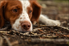 25-52 - worm patrol (in Explore) (Dave (d stop - the photon whisperer)) Tags: dog brittany thought earth twigs brittanyspaniel 52weeksfordogs 52weeksforeva