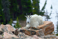 Rocky Mountain goat (Oreamnos americanus) (rangerbatt) Tags: