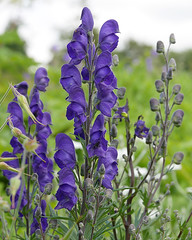 Monkshood (ksztanko) Tags: flowers monkshood aconitumnapellus