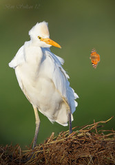 Cattle Egret  () Tags: bird birds cattle bin sultan egret qatar  birdwatchers
