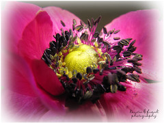 Anemone (Kerstin Frank art) Tags: flowers flower macro photoshop manipulation anemone layer