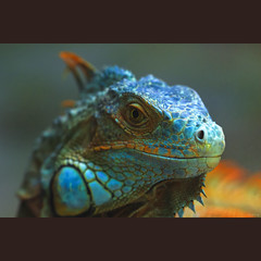 Blue Iguana (-clicking-) Tags: lighting blue light nature natural reptile wildlife details ngc lizard npc iguana ugly specanimal colorphotoaward bestcapturesaoi elitegalleryaoi asquaresuperstarstemple loibst highqualityanimals flickrsfinestimages1 conc flickrsfinestimages2