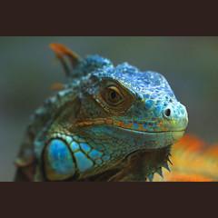Blue Iguana (-clicking-) Tags: lighting blue light nature natural reptile wildlife details ngc lizard npc iguana ugly specanimal colorphotoaward bestcapturesaoi elitegalleryaoi asquaresuperstarstemple loibst highqualityanimals flickrsfinestimages1 conc flickrsfinestimages2