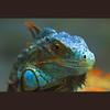 Blue Iguana (-clicking-) Tags: lighting blue light nature natural reptile wildlife details ngc lizard npc iguana ugly specanimal colorphotoaward bestcapturesaoi elitegalleryaoi asquaresuperstarstemple loàibòsát highqualityanimals flickrsfinestimages1 concựđà flickrsfinestimages2