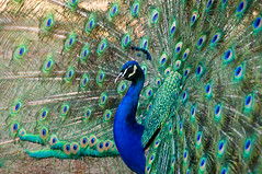 Peacock in Portugal
