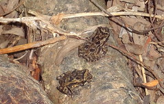 DSC00809frogs.JPG (danniepolley) Tags: nature animal amphibians