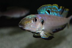 Enantiopius melanogenys (john09013) Tags: lake freshwater cichlid tanganyika melanogenys enantiopius