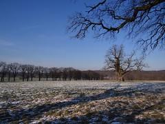 amazing oaks (JoannaRB2009) Tags: old blue trees winter sky snow nature germany amazing oak hessen natura oaks zima niebieski śnieg hesse przyroda niebo drzewa niemcy dąb dęby beberbeck
