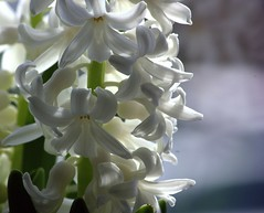 White Hyacinth (Chrissie28IWish! ~ hubby passed away 5th Dec peace) Tags: white house plant flower green floral closeup petals stem bokeh indoor stamens pot hyacinth yahoo:yourpictures=inbloom