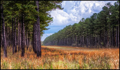 Southern Pines (Marvin Foran Photography) Tags: florida pinetrees ruralscene gadsdencounty