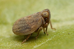 Planthopper, the latest model! (ronibiza) Tags: macro nature insect planthopper notyournormalbug