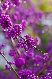 Wet Purple Drops