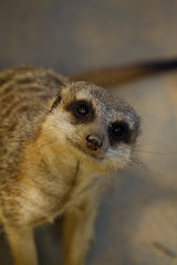 What are you doing? (Hooked On Light) Tags: meerkat