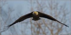 "Bald Eagle (20120314-0984) (Earl Reinink) Tags: travel ontario canada bird art nature birds photography landscapes nikon flickr eagle flight canadian niagara earl bif ""lake ""bird ""nikon ""niagara photography"" eagle"" ""birds ""nature ontario"" ""landscape ""fine ""earl peninsula"" flight"" lenses"" ""travel erie"" ""bald d3"" ""hawk d3s"" reinink"""