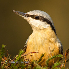 Nuthatch Portrait (Novisteel) Tags: winter birds flickr wildlife nuthatch birdperfect ngdphotos