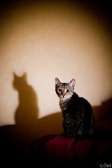 My shadow did it !! (Bart) Tags: cute cat canon eos kitten 50mm14 5d neko tartiflette 50mmf14 chaton mark2 canonef50mmf14usm canon50mmf14 ef50mmf14usm 5dmarkii 5dmark2