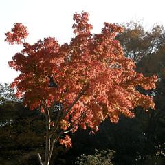#6128 Japanese maple (モミジ) (Nemo's great uncle) Tags: autumn tokyo flora japanesemaple 東京 紅葉 minatoku shibakoen 港区 モミジ 芝公園