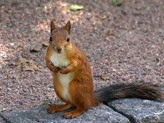 Slim Tail, Good Manners (Tomi Tapio) Tags: squirrel sqrl orava kurre helsinki hietaniemi cemetery tame eurasianredsquirrel sciurusvulgaris cureuil canonef90300mmf4556usm iso200 fur tail ears eyes face whiskers pose rarepose standing paws claws feet toes stare staring
