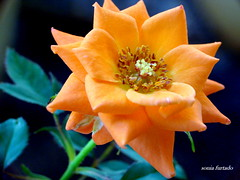 Domingo rosa (sonia furtado) Tags: macro flor rosa raynox minirosa domingorosa nanaturezainnature