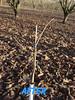 3113 filbert pruning (growing hazelnuts) Tags: pruning filberts
