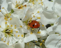 Nestling In. (Margaret Edge the bee girl) Tags: red food spring blossom ladybird whiteflowers goldengage