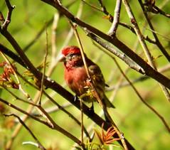 House-Finch (Chris Sorge) Tags: housefinch kodakz990 freedomtosoarlevel1birdphotosonly