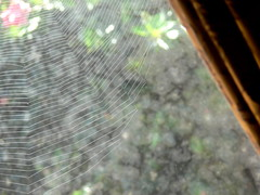 looking out (Foot Slogger) Tags: flower window web curtain spiderweb hibiscus shrub dirtywindow