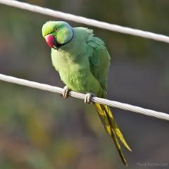 Rose-ringed Parakeet (Male) (rpgold) Tags: travel india birds canon gold wildlife parakeet mysore 2012 canonef100400mmf4556lis 5dmarkii rachellepaul rpgold 5dmark2