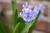Hyacinth (Joe Shlabotnik) Tags: flowers myfave hyacinth 2012 faved march2012 heylookatthis