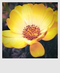 Polaroid Floral (David S Wilson) Tags: flowers flower floral yellow garden polaroid photo image processed camerabag flowersplants 2011 ipad2 davidswilson