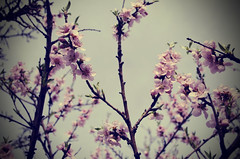 blooming... (aleksi the great) Tags: flowers light sky tree branches joy dreamy tender scent blooming