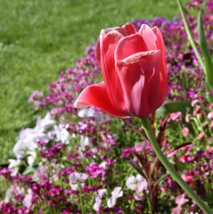 Joyeuses Pâques ! Happy Easter ! (Larch) Tags: pink france flower annecy fleur rose spring niceshot tulip 74 printemps soe tulipe hautesavoie happyeaster wow1 joyeusespâques olétusfotos mygearandme ringexcellence blinkagain flickrstruereflection1