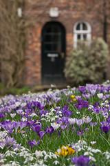 A profusion of flowers (Maria-H) Tags: uk flowers england garden spring crocus panasonic snowdrop didsbury fletchermoss 100300 greatermanchester gh2 leuropepittoresque dmcgh2