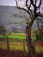The Beauty of Age (Dazzygidds) Tags: trees composition derbyshire tranquility tint serenity serene framing fracture nationaltrust oldage tranquil darkpeak peakdistrictnationalpark castleton winnatspass hopevalley peverilcastle crataegusmonogyna thebeautyofage ortonish veteranhawthorntree