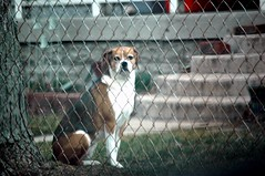 That's close enough, camera boy! (kennethkonica) Tags: usa pets green beagle dogs animals fence fun outdoors rust midwest indianapolis posing indiana ears ground nikond70s stare activity gaze hoosiers