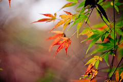 Dancing on Air (Fesapo) Tags: autumn light red orange blur color colour green fall nature beautiful leaves yellow japan canon temple prime maple shrine colorful dof bokeh foliage momiji 7d colourful  aki simple izumo    gakuenji 135mmf2l