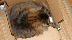 JaggerNBox 20120301P 010 (lucycat) Tags: cats study boxes jagger