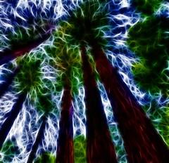 <untitled>  _DSC9992_HDR - fract 1  2011-12-11 (neech_2000) Tags: sanfrancisco ca trees muirwoods americana ferns