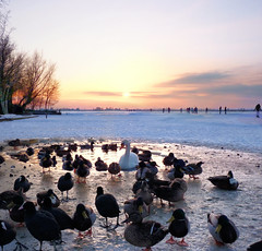 The last pool attracts numerous birds in Zuiderwoude (Bn) Tags: winter sunset sun snow playing cold holland ice nature boys netherlands colors dutch amsterdam birds geotagged duck swan zonsondergang topf50 hole natural horizon skating hans freezing 7 skaters