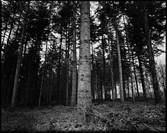 One Pillar (derScheuch) Tags: wood trees bw mamiya film analog forest germany geotagged deutschland 50mm shanghai 180 200 mf analogue 6x7 rodinal wald bume oldenburg rz67 niedersachsen lowersaxony standdevelopment sekor gp3 wildenloh standentwicklunrg geo:lat=5311979486159878 geo:lon=811776944007579