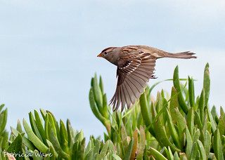 White-crowned Sparrow flying over Ice Plant